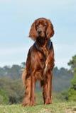 爱尔兰人的特定装置狗 免版税库存图片