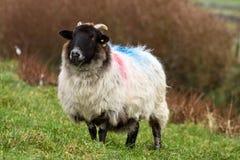 爱尔兰公羊 库存照片