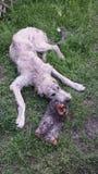 爱尔兰小狗猎狼犬 库存照片