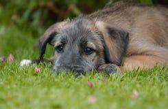 爱尔兰小狗猎狼犬 免版税图库摄影