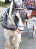 爱尔兰小马 免版税库存图片