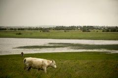 爱尔兰母牛 免版税库存图片