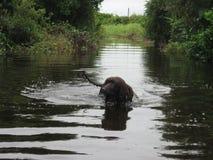 爱尔兰水西班牙猎狗在水中 库存照片