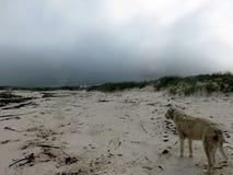 爱尔兰狼猎犬观察世界 免版税图库摄影