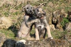 爱尔兰猎犬两只小狗在庭院里 免版税库存图片