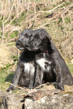 爱尔兰猎犬两只小狗在庭院里 库存图片