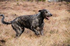 爱尔兰猎犬在草甸 免版税库存照片