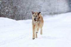 爱尔兰猎犬狗 免版税库存照片