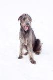爱尔兰猎犬 免版税库存图片