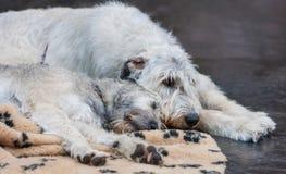 爱尔兰猎犬 免版税库存照片