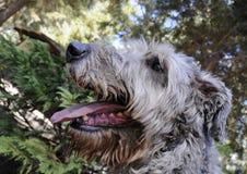 爱尔兰纵向猎狼犬 库存图片