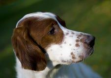 爱尔兰纵向赤毛的塞特种猎狗白色 库存照片
