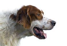 爱尔兰纵向赤毛的塞特种猎狗白色 免版税库存图片