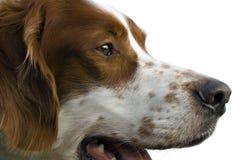 爱尔兰纵向赤毛的塞特种猎狗白色 库存图片