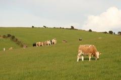 爱尔兰语肉用牛的小山 免版税图库摄影