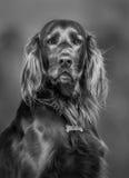 爱尔兰赤毛的塞特种猎狗 狗Blak和白的画象  免版税库存图片