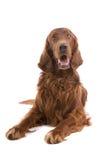 爱尔兰赤毛的塞特种猎狗 库存照片