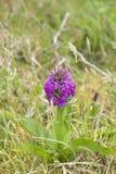 爱尔兰紫色野生兰花 免版税图库摄影