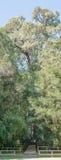 爱德华七世国王大树 免版税库存照片