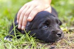 爱恋爱抚与信任的妇女或儿童手发光的眼睛的小滑稽的黑小狗 免版税库存照片