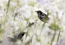 爱情花的新的荷兰Honeyeaters (Phylidonyris novaehollandiae) 免版税图库摄影