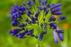 爱情花-爱情花黑暗的紫罗兰色蓝色花 库存图片