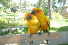 爱情鸟夫妇五颜六色的鹦鹉 在动物园里 免版税库存照片