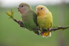 爱情鸟夫妇在桃子分支的 免版税图库摄影