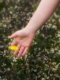 爱抚一朵美丽的花的妇女手 免版税库存图片