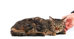 爱抚在白色背景的妇女布朗平纹家猫, 影视素材