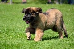 爱拥抱Leonberger幼兽在草甸 库存图片
