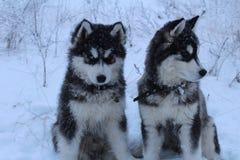 爱斯基摩在多雪的森林里 免版税库存图片
