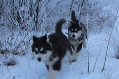 爱斯基摩在多雪的森林里 免版税图库摄影