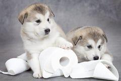 爱斯基摩狗与卫生纸的小狗作用 库存照片