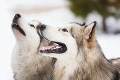 爱斯基摩狗两条狗品种  免版税图库摄影