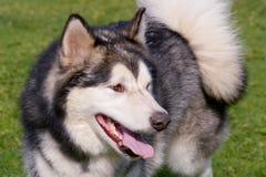 爱斯基摩狗狗 免版税库存照片