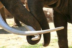 爱树干二的大象 免版税库存照片