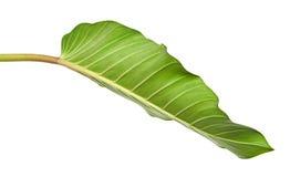 爱树木的人叶子爱树木的人melinonii,在白色背景隔绝的大绿色叶子 库存图片
