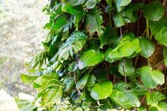 爱树木的人在雨林树的树干离开 免版税图库摄影