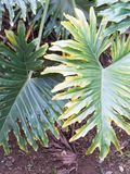 爱树木的人selloum在有豪华的绿色叶子的被遮蔽的热带庭院里 图库摄影