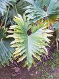 爱树木的人selloum在有豪华的绿色叶子的被遮蔽的热带庭院里 免版税图库摄影
