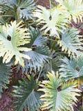 爱树木的人selloum在有豪华的绿色叶子的被遮蔽的热带庭院里 免版税库存照片
