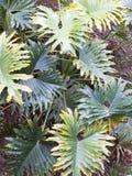 爱树木的人selloum在有豪华的绿色叶子的被遮蔽的热带庭院里 免版税库存图片
