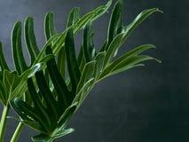 爱树木的人xanadu植物叶子热带 免版税库存图片