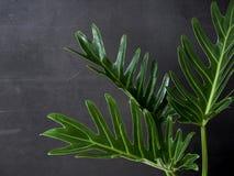 爱树木的人xanadu植物叶子热带 库存图片