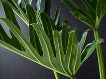 爱树木的人xanadu植物叶子热带 图库摄影