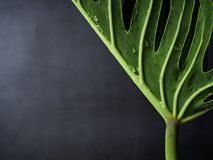 爱树木的人xanadu植物叶子热带 免版税图库摄影