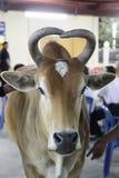 爱母牛 免版税图库摄影