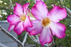 爱沙漠座莲,飞羚百合,假装杜娟花,泰国 免版税图库摄影