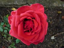 爱片断在一朵红色玫瑰的女孩的 库存图片